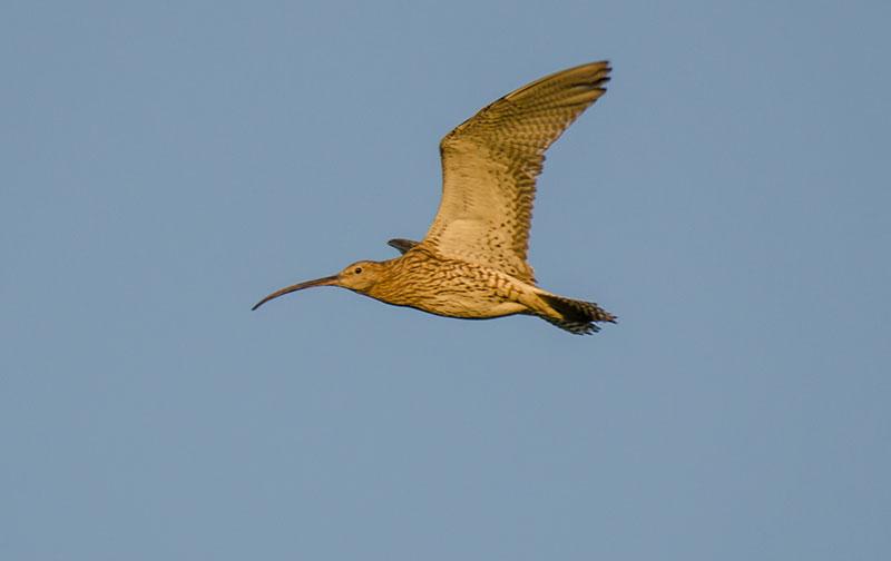 Großer Brachvogel (Foto: Tim Laskowski)