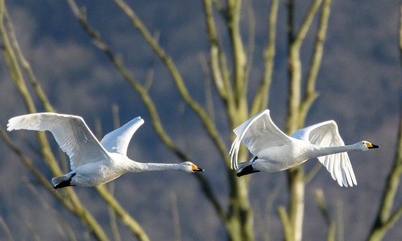 Singschwäne im Flug | Foto: Wolfgang Piecha