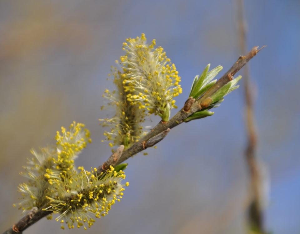 Weidenkätzchen im Nationalpark Unteres Odertal - Foto: Milena Kreiling