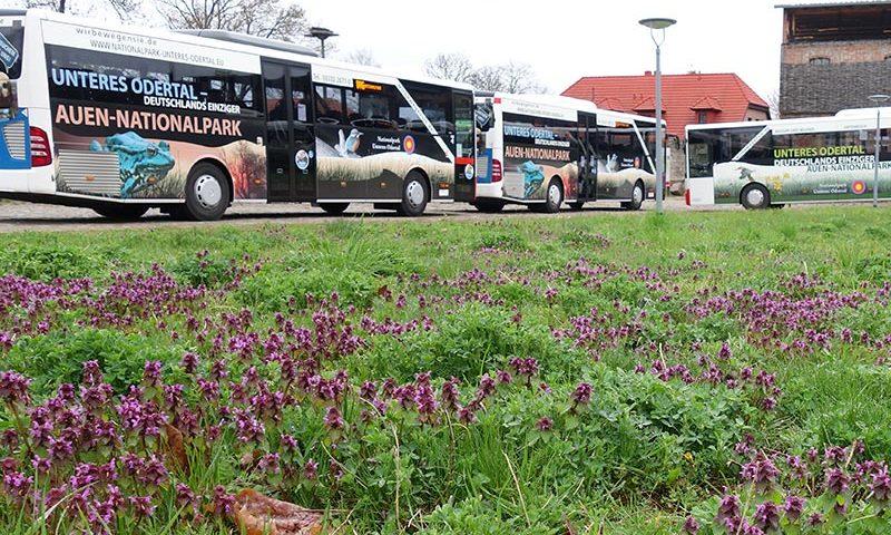 Vorstellung von Bussen im Nationalpark-Look in Criewen